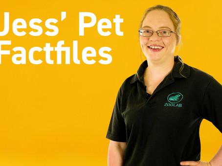 Jess's Pet Fact Files: Chilean Rose Tarantula
