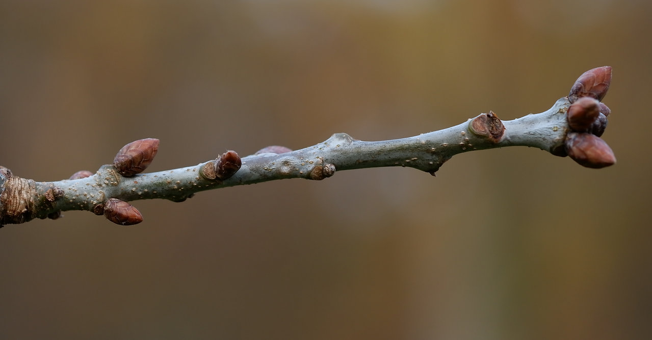 vintertræ, natur retur