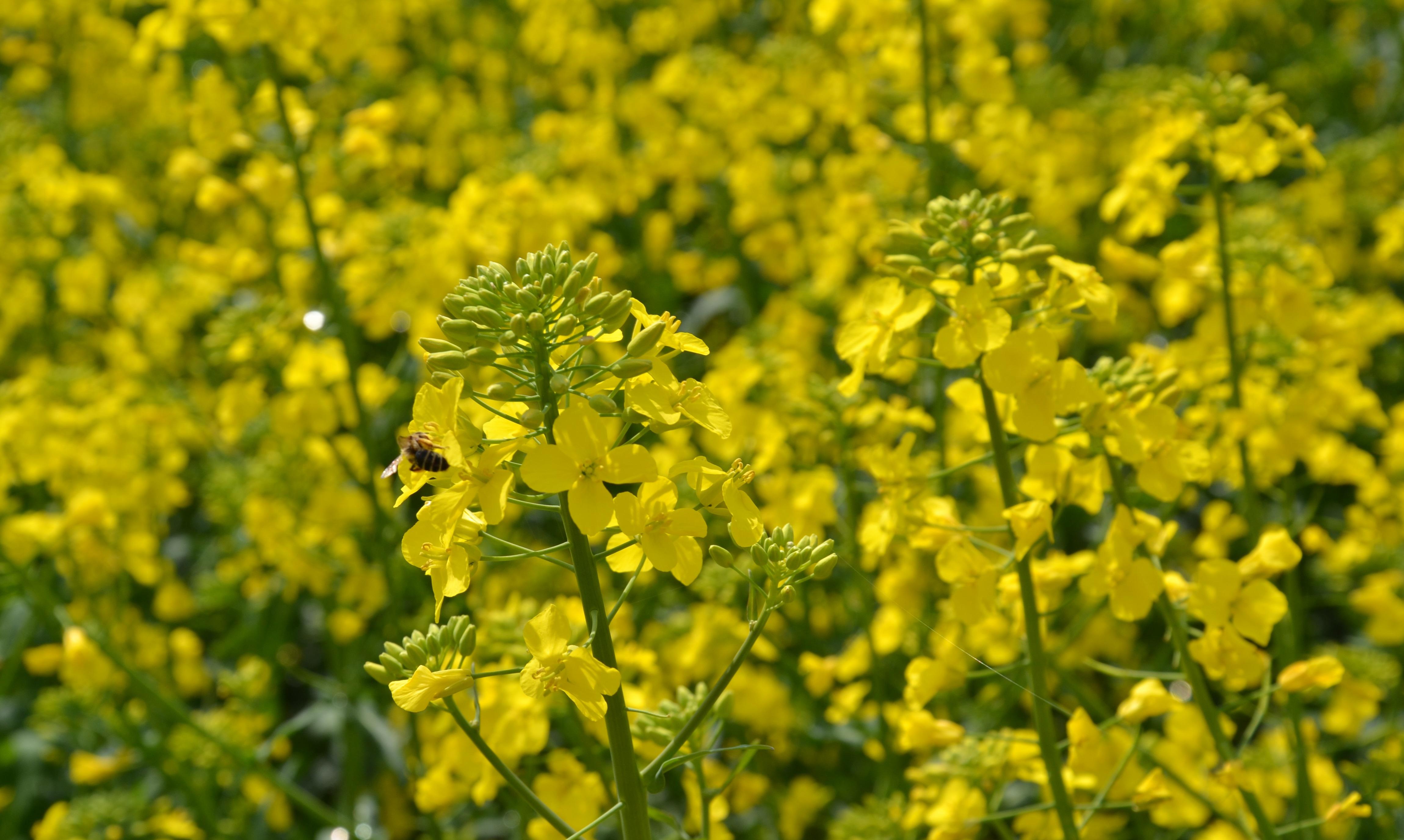oljna ogrščica in čebela
