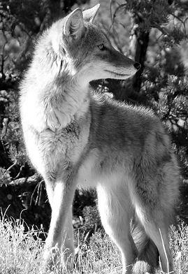 Coyote_SarahStio.jpg