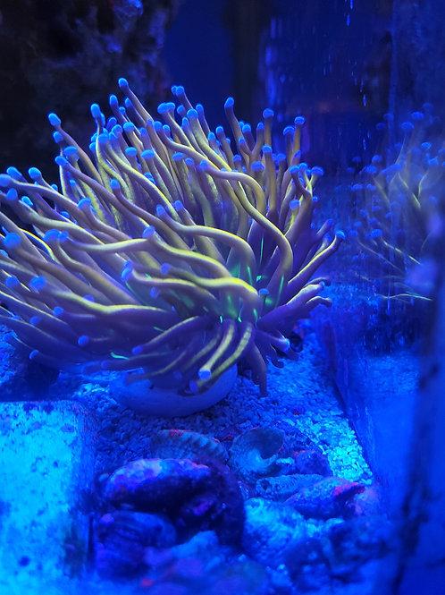 Aussie holy grail green mouth torch coral single head
