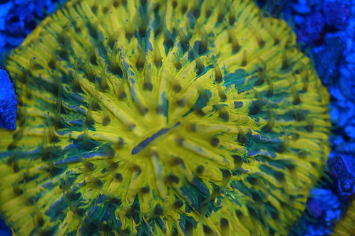 Splatter Plate Coral