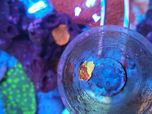 Jawbreaker mushroom