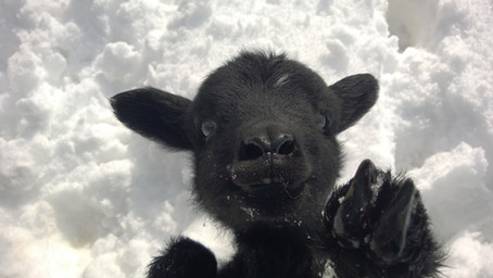 Lamb born in Winter