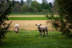 Sheep are on site