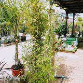Phyllostachys bambusa 'aurea'