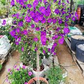 Solanum rantonnetti