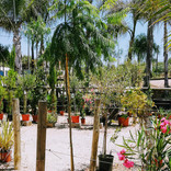 Jacarada mimosifolia