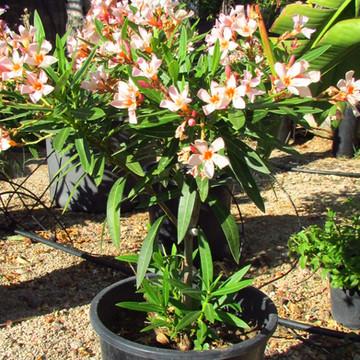 Nerium oleander' nana'