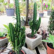 Euphorbia tetragona