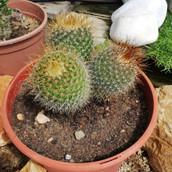 Mammilaria spinosissima