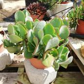 Crassula arborescens ssp. undulatifolia