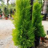 Cupressus macroc. 'wilma'