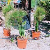 Cyperus papyrus 'nana'