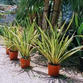 Phormium tenax 'variegata'