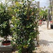 Eugenia myrtifolia 'newport'