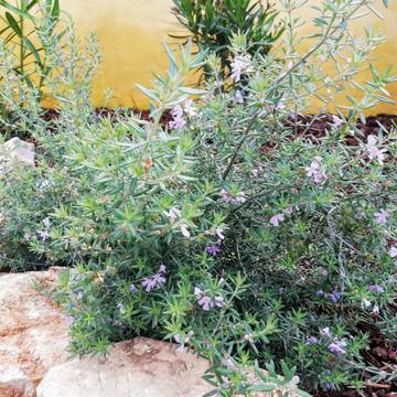Westringea fruticosa