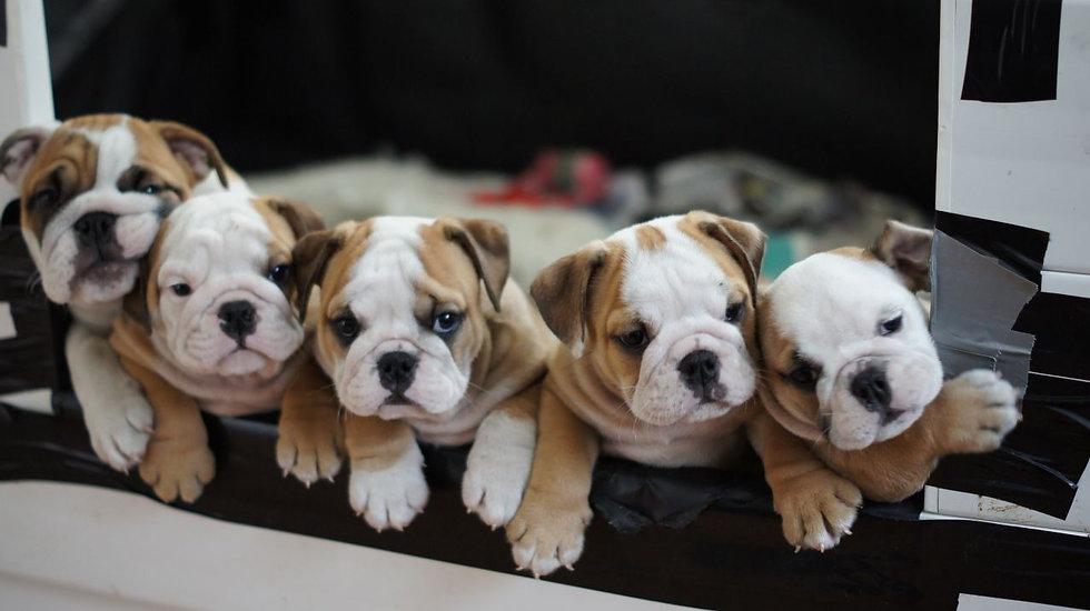 goodybullz pups.jpg