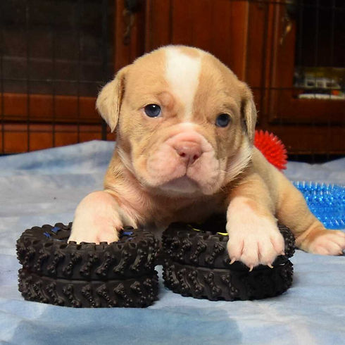 available pup 3 male litter 2.jpg