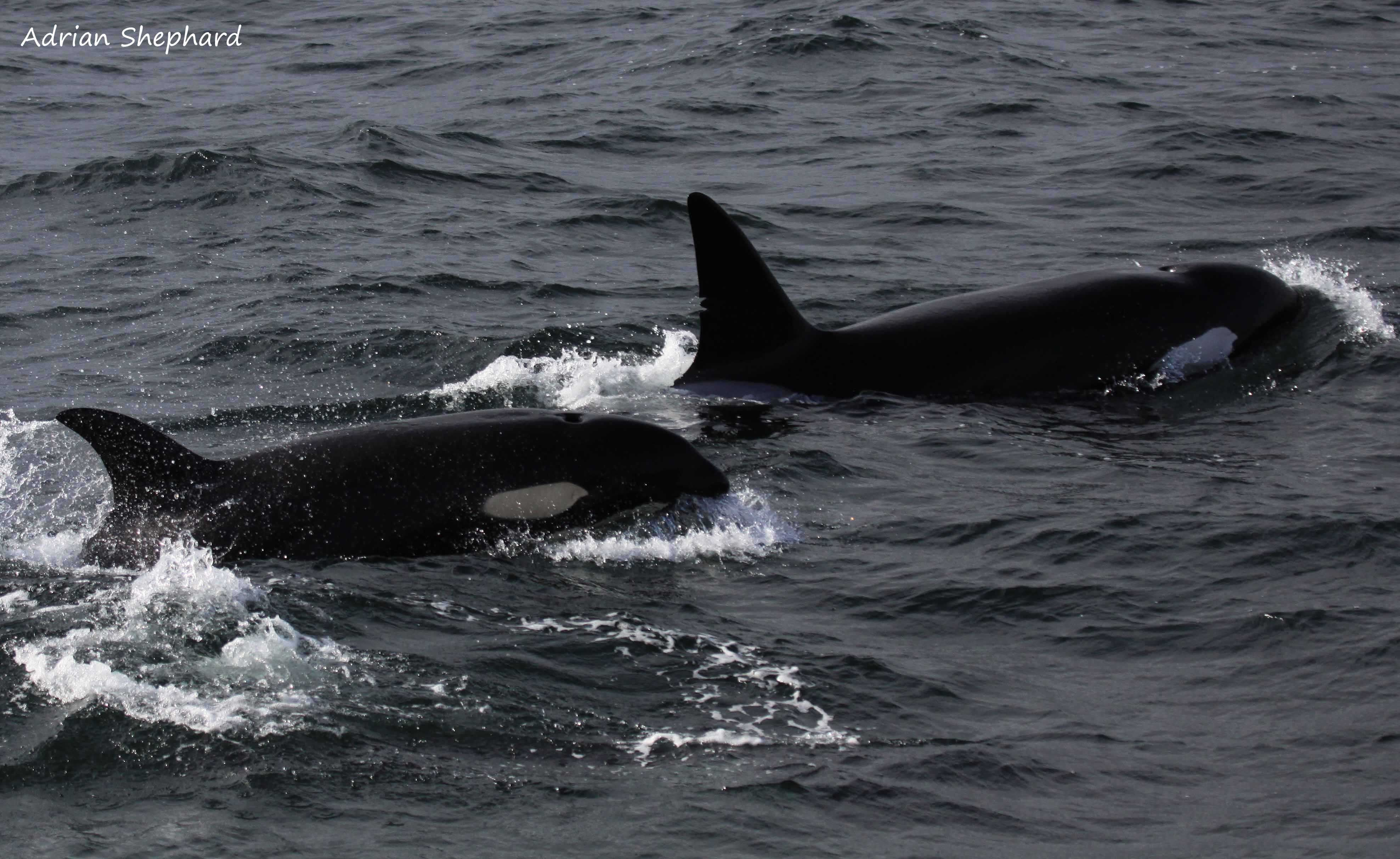 White markings and dorsal fin