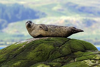 A seal relaxing on a rock.