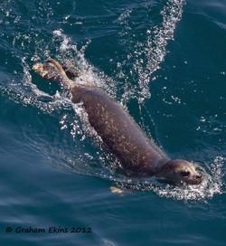 Seal swimming