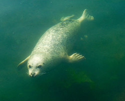 A seal swimming
