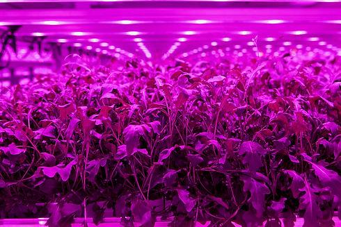 Vertical farm crops - LightScienceTech.j