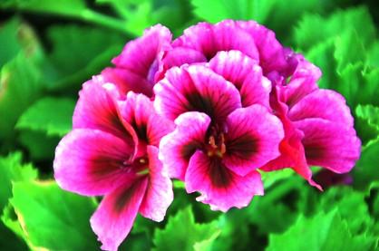 A geranium like no other
