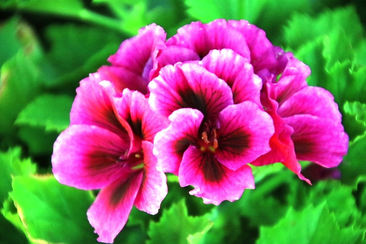 A geranium like no other