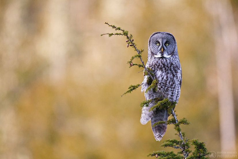 Great Grey Owl on Hemlock