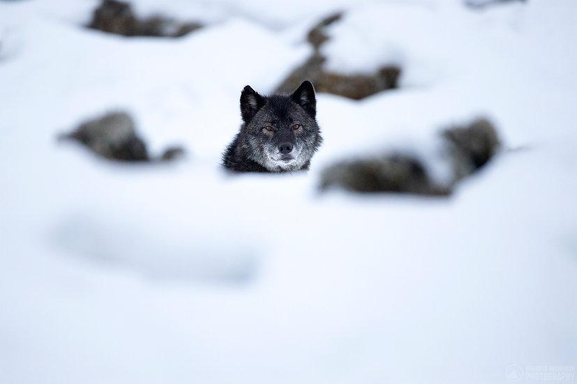 Black Wolf Peek