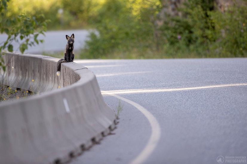 Roadside Red Fox