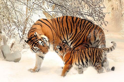 Winter with tigers