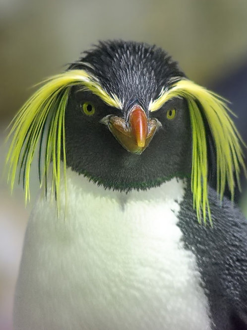 Penguin yellow eyes