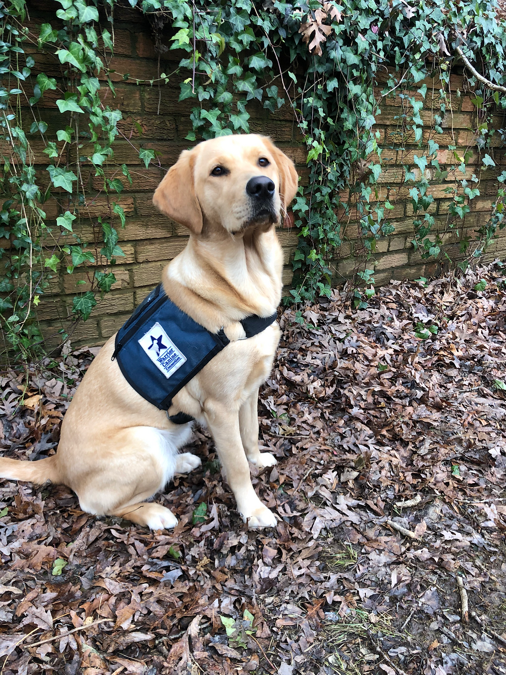 puppy golden retriever lab service dog vest cute adorable warrior canine connection outside leaves