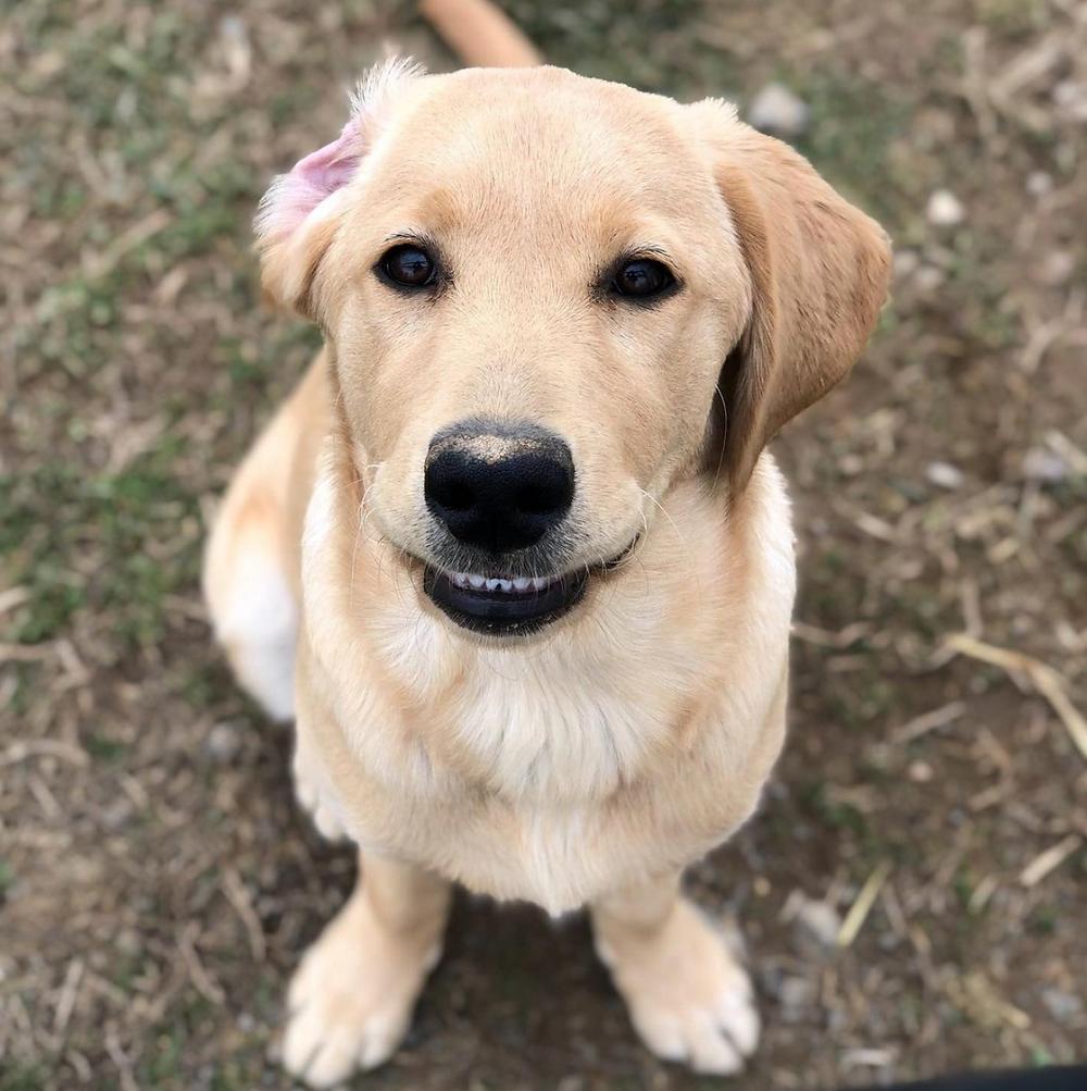 puppy golden retriever lab warrior canine connection rue
