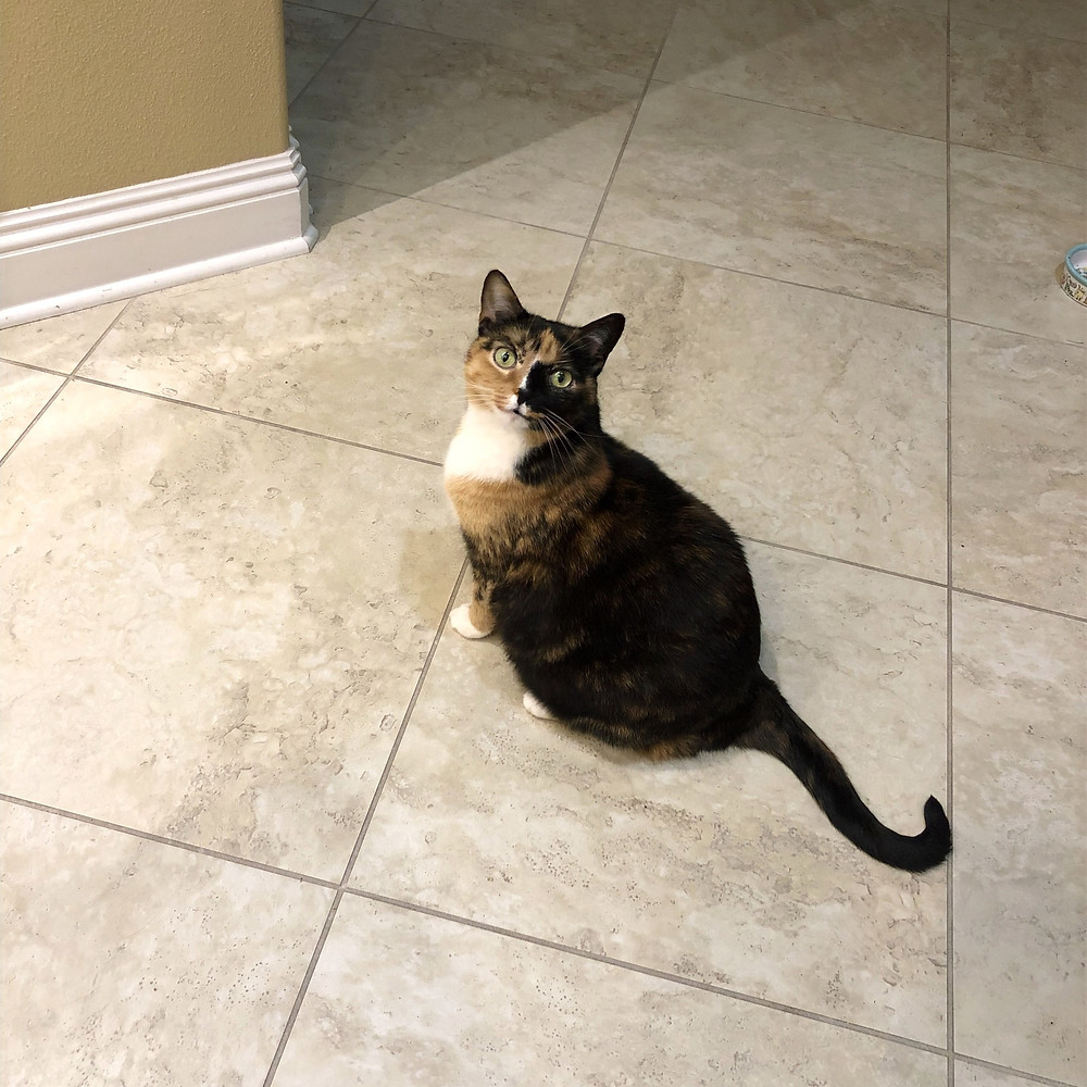 cat tortoise tortie kitty cute black white chest orange tango mango