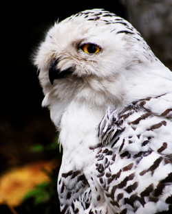 Owl 2 (Bright) 10x8