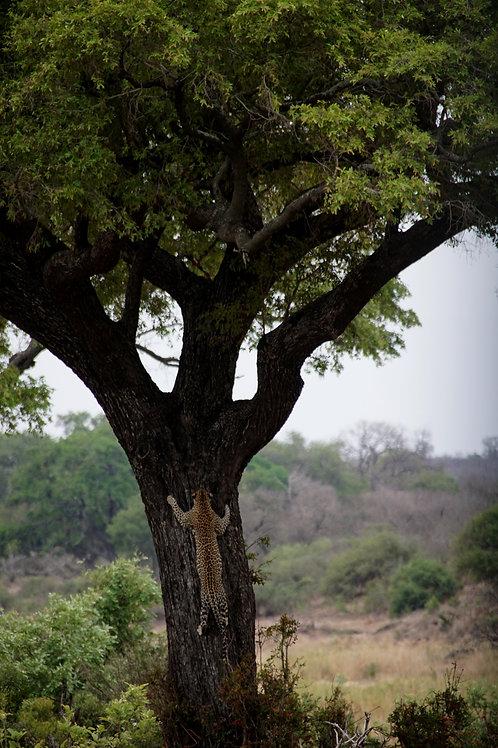 Tree Climbing Leopard