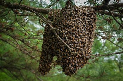 Hudsonville bees