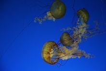 太平洋海刺水母2.JPG