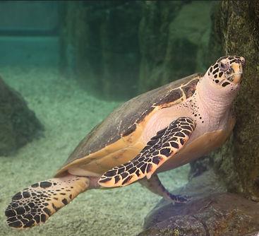 綠蠵龜.jpg