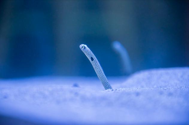 花園鰻.png