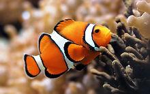 Desktop-free-download-clown-fish-wallpap