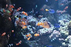 小丑魚和擬刺尾鯛.JPG