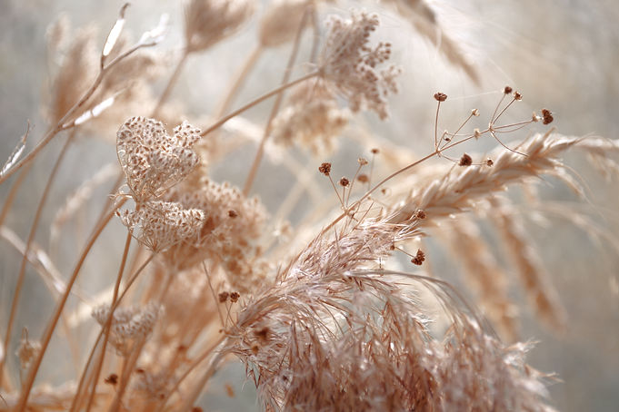 dried wild carrot flowers together with dried grass and spikelets beige on a blurred backg
