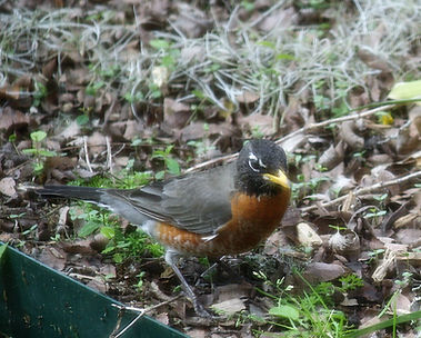 An American robin searching through leaves on the ground.