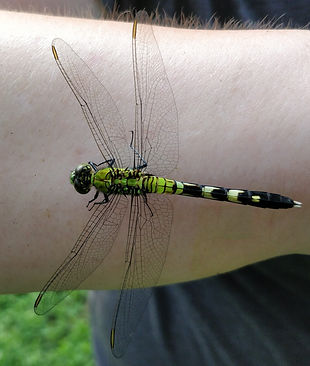 An eastern pondhawk perched on a person's arm.