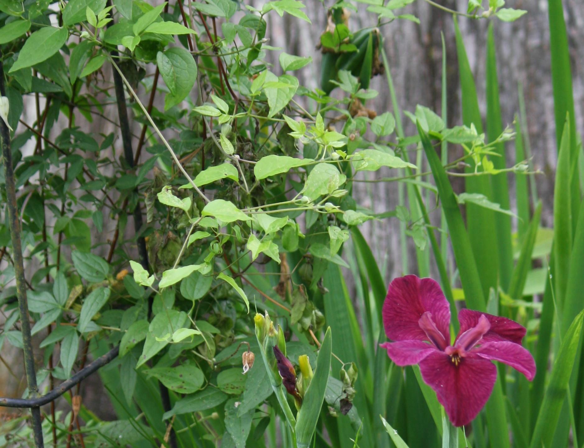 LA Iris and Clematis Crispa (native)